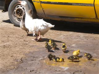 patitos y gallina